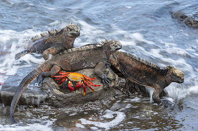 Galapagos Photograph - Marine Iguana Trio And Sally Lightfoot by Tui De Roy