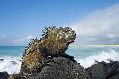 Marine Iguana Turtle Bay Santa Cruz Art Print by Tui De Roy