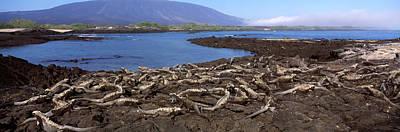 Marine Iguana Photograph - Marine Iguanas Amblyrhynchus Cristatus by Panoramic Images