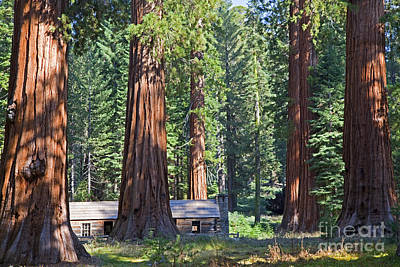 Photograph - Giant Sequoias Mariposa Grove by John Stephens