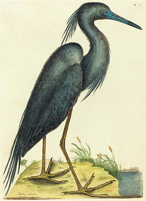 Herons Drawing - Mark Catesby English, 1679 - 1749, The Blue Heron Ardea by Quint Lox