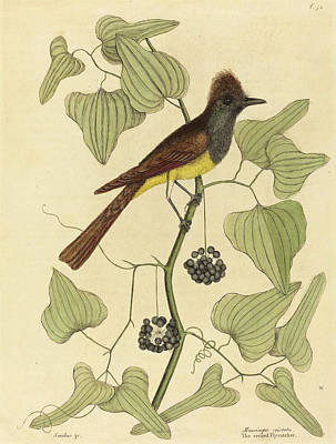 Flycatcher Drawing - Mark Catesby English, 1679 - 1749, The Crested Flycatcher by Quint Lox