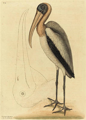 Pelican Drawing - Mark Catesby English, 1679 - 1749, The Wood Pelican by Quint Lox