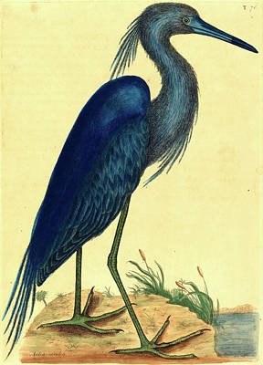 Handcolored Etching Drawing - Mark Catesby,english, 1679-1749, The Blue Heron Ardea by Litz Collection
