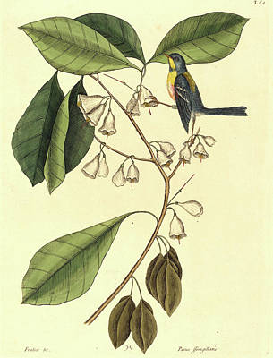 Finch Drawing - Mark Catesby,english, 1679-1749, The Finch Creeper Parus by Litz Collection