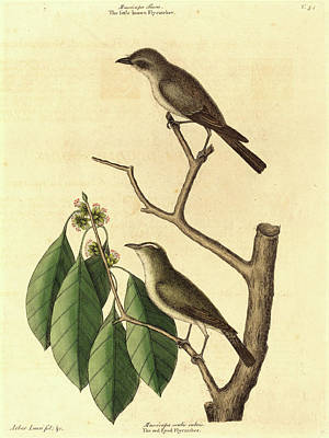 Flycatcher Drawing - Mark Catesby,english, 1679-1749, The Little Brown Flycatcher by Litz Collection