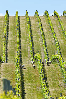 Photograph - Marlborough Vineyard  by Alexey Stiop