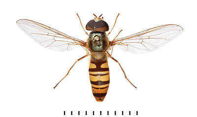 Hoverfly Wall Art - Photograph - Marmalade Hoverfly by Natural History Museum, London