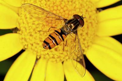 Hoverfly Wall Art - Photograph - Marmalade Hoverfly On Corn Marigold by Bob Gibbons