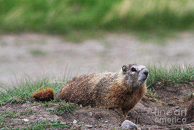 Photograph - Marmot by Alyce Taylor