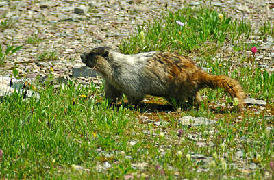 Photograph - Marmot At Glacier by Cindy Murphy - NightVisions