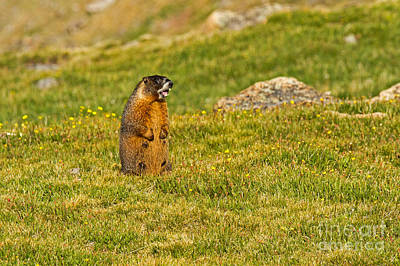 Photograph - Marmot Barking At Rock Cut In Rocky Mountain National Park by Fred Stearns