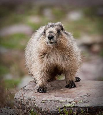 Craig Brown Photograph - Marmot by Craig Brown