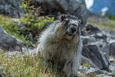 Marmot In Assiniboine Park, Canada Art Print by Howie Garber