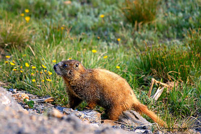Marmot In Spring Art Print by Rebecca Adams