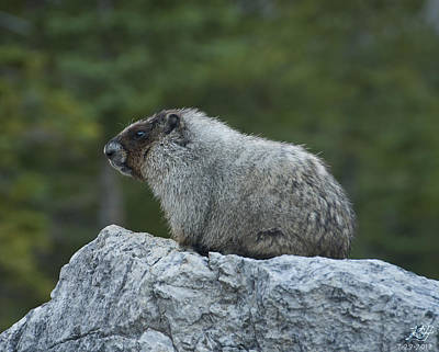 Photograph - Marmot by Kenneth Hadlock