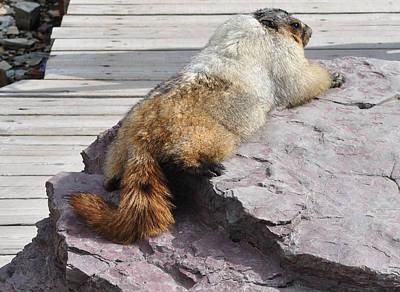 Photograph - Marmot Morning by Jim Hogg