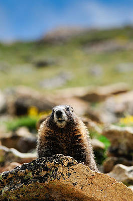 Marmot On A Rock Art Print