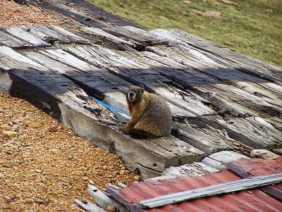 Digital Art - Marmot Resting On A Railroad Tie by Chris Flees