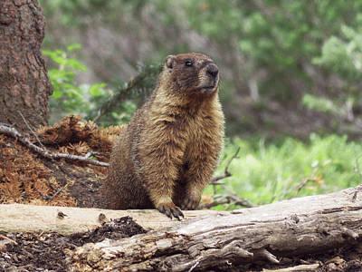 Photograph - Marmot by Thomas Samida