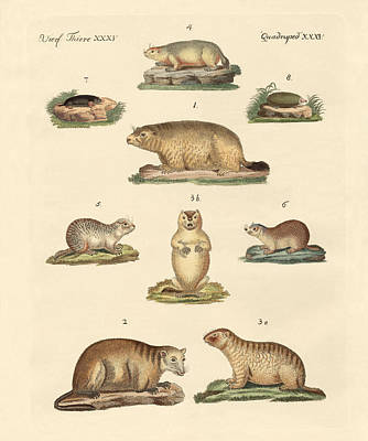 Groundhog Drawing - Marmots And Moles by Splendid Art Prints