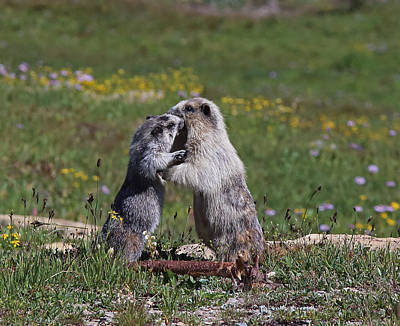 Photograph - Marmots In Glacier Np by Jean Clark