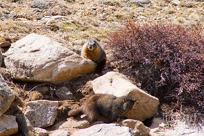 Steven Krull Royalty-Free and Rights-Managed Images - Marmots on Mount Evans by Steven Krull