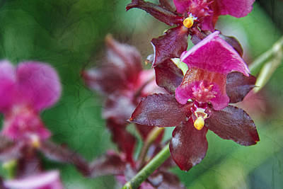 Photograph - Maroon Orchid by Jemmy Archer