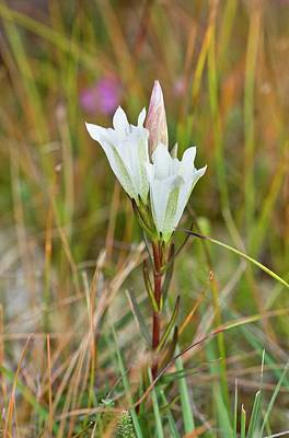 Gentian Photograph - Marsh Gentian (gentiana Pneumonanthe) by Bob Gibbons