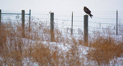 Western Snowfall Photograph - Marsh Hawk by Tracy Winter