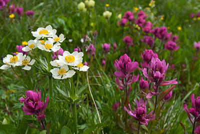 Photograph - Narcissus Anemone And Rosy Paintbrush by Cascade Colors