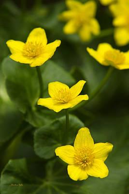 Photograph - Marsh Marigold Flowers by Christina Rollo