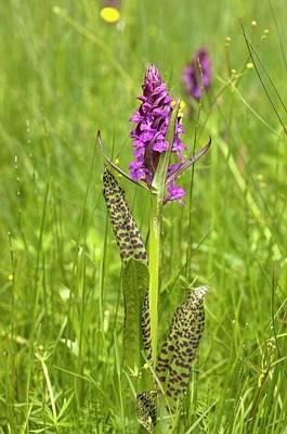 Marsh Orchid (dactylorhiza Majalis) Art Print