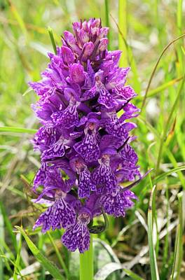Monocots Photograph - Marsh Orchid (dactylorhiza Osmanica) by Bob Gibbons