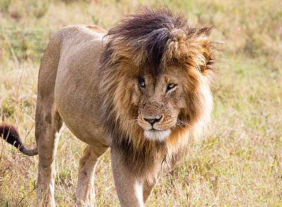 Photograph - Marsh Pride Lion Scar by June Jacobsen