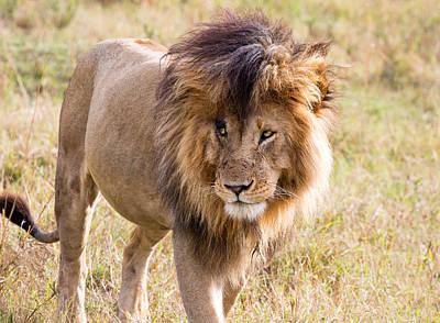 Photograph - Marsh Pride Lion Scar by June Jacobsen
