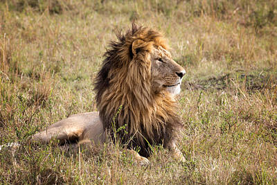 Photograph - Marsh Pride Male Morani by June Jacobsen