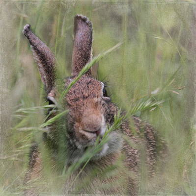 Photograph - Marsh Rabbit by Angie Vogel
