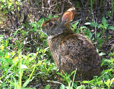 Photograph - Marsh Rabbit by Ira Runyan
