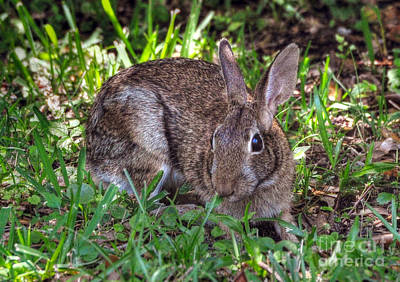 Photograph - Marsh Rabbit by Kathy Baccari