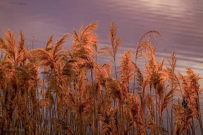 Photograph - Marsh Reeds Aglow  -  150218a-162 by Albert Seger