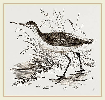 Sandpiper Drawing - Marsh Sandpiper by Litz Collection