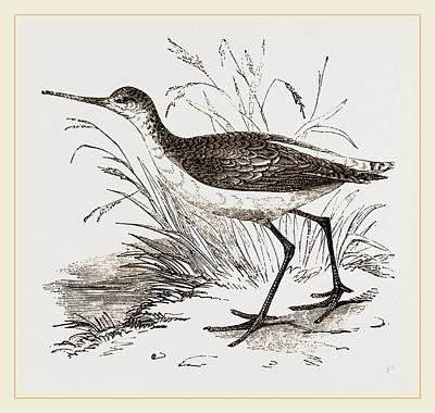 Marsh Sandpiper Art Print by Litz Collection