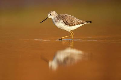 Sandpiper Wall Art - Photograph - Marsh Sandpiper (tringa Stagnatilis) by Photostock-israel