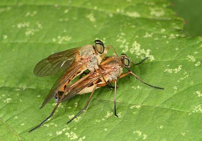 Wet Fly Photograph - Marsh Snipeflies by Nigel Downer