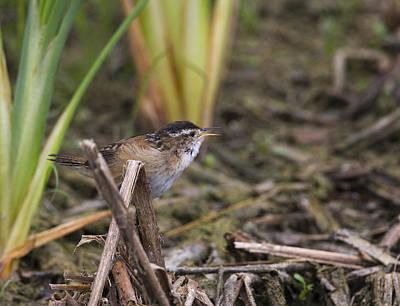Photograph - Marsh Wren by Doug Lloyd