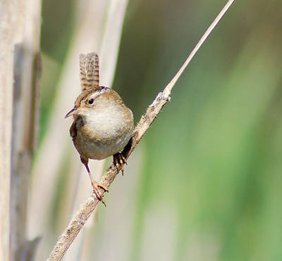 Photograph - Marsh Wren by Erin Kohlenberg