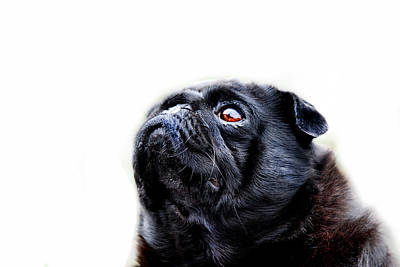 Pug Wall Art - Photograph - Martha by Mark Rogan