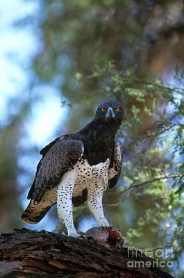 Eagle Photograph - Martial Eagle Eats Dik Dik by Gregory G. Dimijian, M.D.