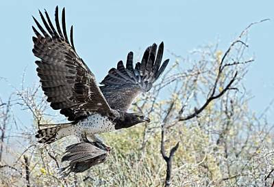 Martial Eagle In Flight With Prey Print by Tony Camacho